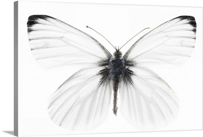 Studio shot of sharp-veined white butterfly