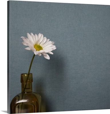 Studio shot of single daisy flower in vase on blue background
