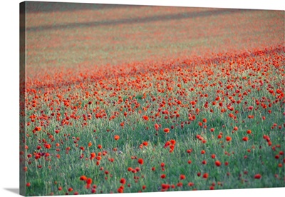 Summer poppies in Kent.