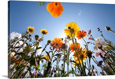 Sun And Clear Sky Above Wildflowers
