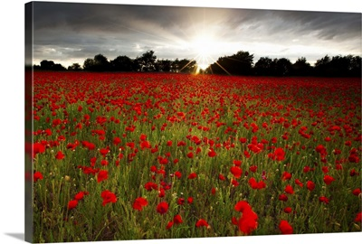 Sun sets over poppy field, sun showing burst of rays against stormy sky.