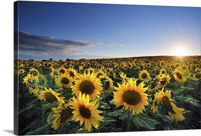 Sun setting over sunflower field.