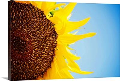 Sunflower against blue sky, close up.