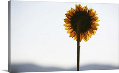 Sunflower backlit at sunset