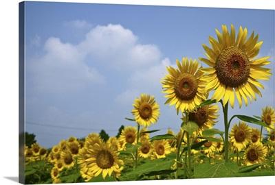 Sunflower festa in zama.