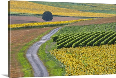Sunflower field and road near Pons, France.
