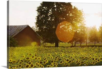 Sunflower Field At Sunset With A Barn