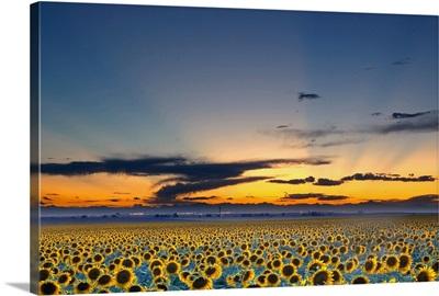Sunflower field illuminated by beautiful rays during sunset.