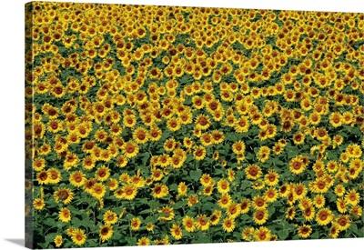 Sunflower Field In Hokuto, Yamanashi Prefecture, Japan