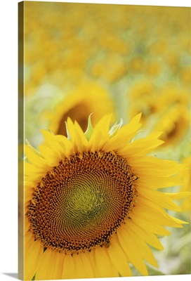 Sunflower in field, close up, Cingoli.