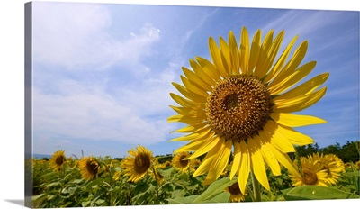 Sunflower in Summer Bloom at Nishime Festival, Yurihonjyo, Akita, Japan.