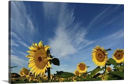 Sunflowers fields against blue sky.