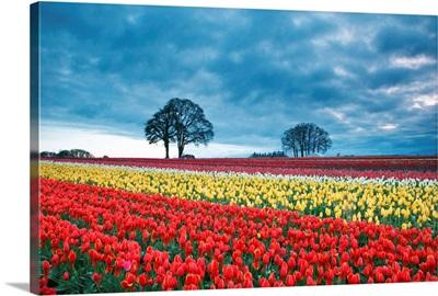 Sunrise Over Tulip Field, Wooden Shoe Tulip Farm, Woodburn, Oregon