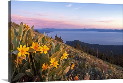 Sunset and yellow Mules Ears flowers above Lake Tahoe in California