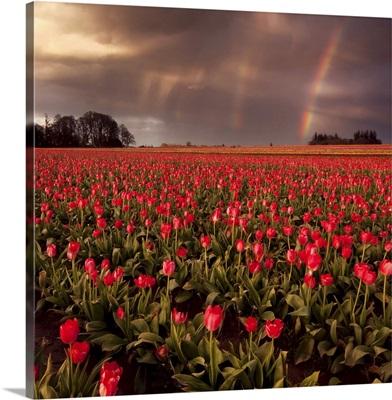 Sunset at tulip farm in Woodburn, Oregon.