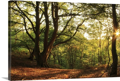 Sunset at woodland, Shropshire in England.