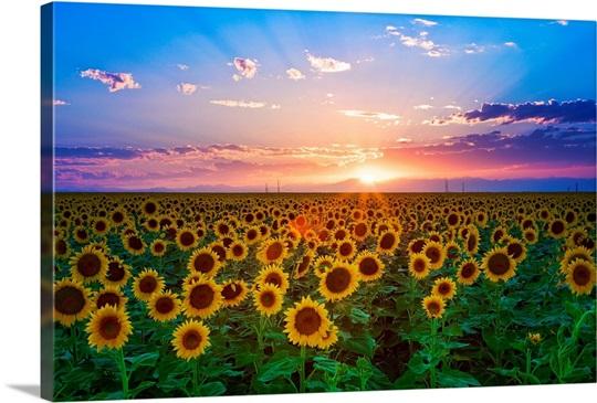 Sunset From Sunflower Field On Eastern Plains Of Colorado Near Denver