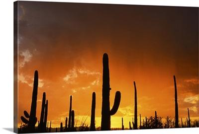 Sunset over giant saguaros, Saguaro National Monument, Arizona