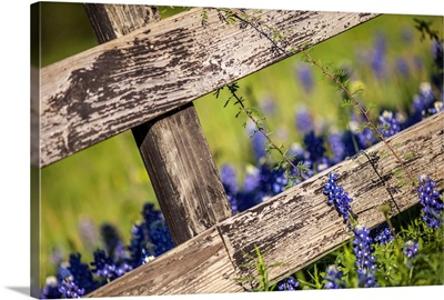 Texas Bluebonnets Around A Country Fence