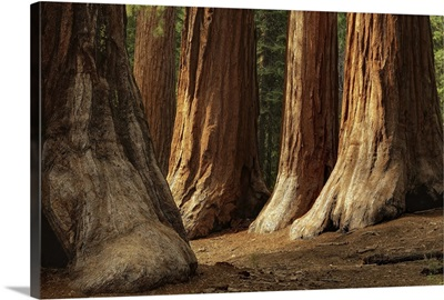 The Bachelor and Three Graces, four giant sequoias in Mariposa Grove.