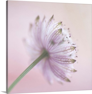 The back view of a  soft pink 'Astrantia major' flower.