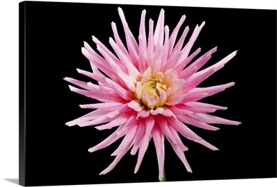 The Shooting Star produces blooms of large pink and white flowers with a yellow centre.