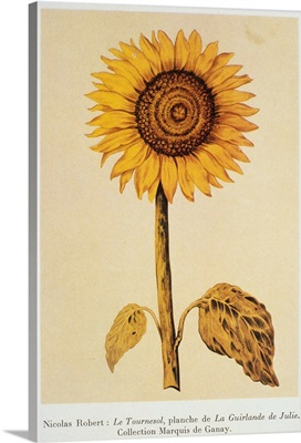 The Sunflower By Nicolas Robert