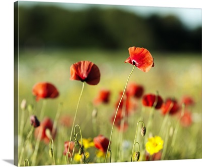 The sunlight shining on Poppy Flowers growing in the meadow