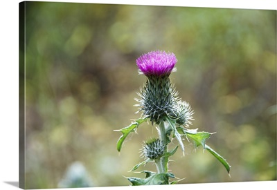 Thistle flower, close-up