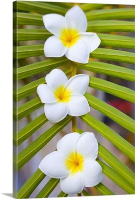 Three fragipani flowers on palm leaf.