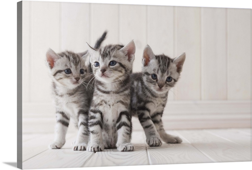Three Grey Tabby Kittens Wall Art Canvas Prints Framed Prints Wall Peels Great Big Canvas