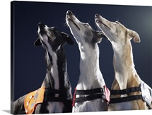Three greyhounds looking up