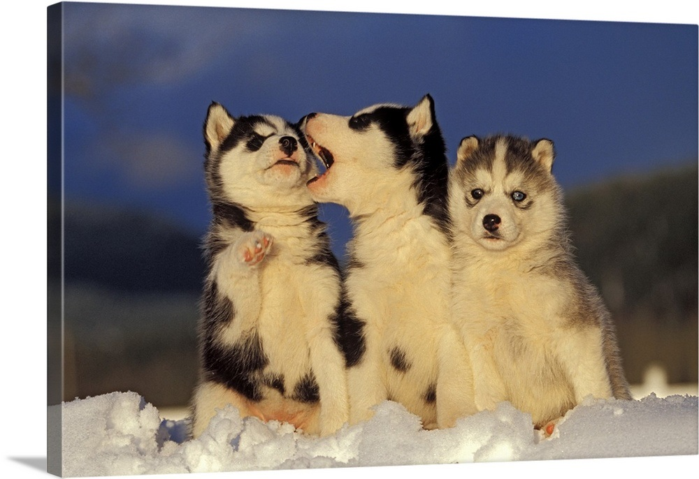 Three Siberian Husky Puppies Sitting In Snow Wall Art Canvas Prints