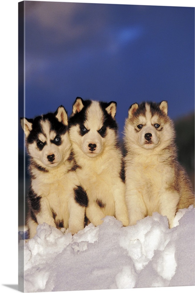 Three Siberian Husky Puppies Sitting In The Snow Wall Art Canvas