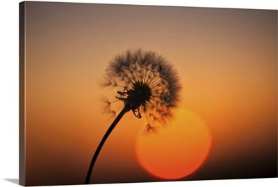 Time teller dandelion.