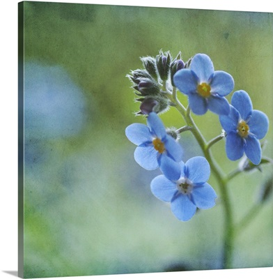 Tiny blue forget-me-not flowers.