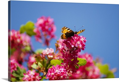 Tortoiseshell butterfly rests on red flowering.