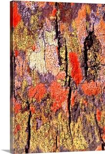 Tree bark with colorful lichen