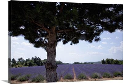 Tree growing by field of purple flowers, France