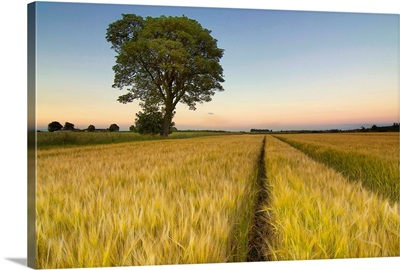 Tree in farm at sunset, Falkirk.