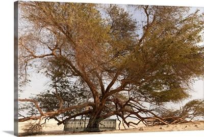 Tree of Life, 400-year-old mesquite tree, near Jebel Dukhan.