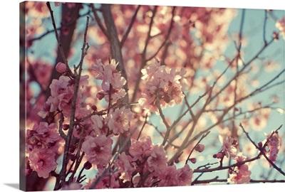 Tree with spring cherry, sakura blossom.