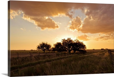 Trees in grass field at sunset.