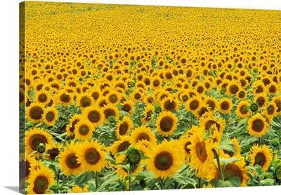 Tr/Thrace: Sonnenblumenfeld