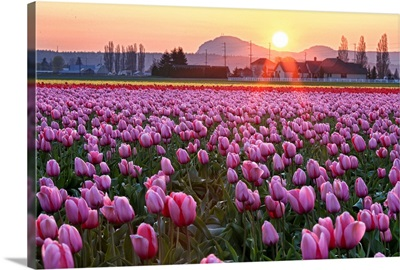 Tulip field at sunset.