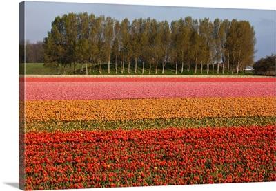 Tulip Fields In Springtime Near Keukenhof Gardens