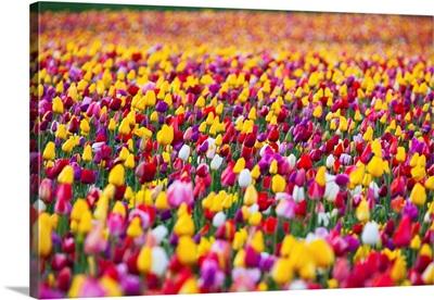 Tulip Fields, Wooden Shoe Tulip Farm, Woodburn Oregon