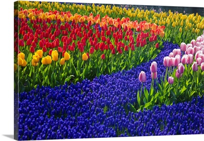 Tulips And Grape Hyacinth In Keukenhof Gardens