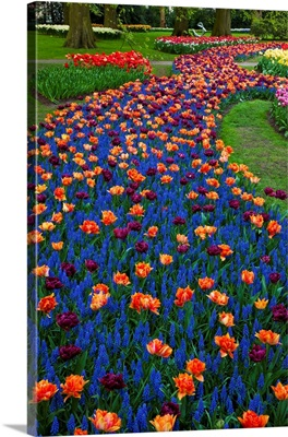 Tulips And Grape Hyacinth In Keukenhof Gardens