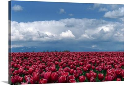 Tulips festival.